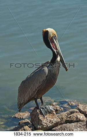 Stock Image of Brown pelican (Pelecanus occidentalis) perching at.