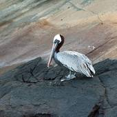 Pictures of Brown pelican (Pelecanus occidentalis), Tagus Cove.