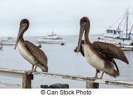 Stock Images of California Brown Pelican, Pelecanus occidentalis.