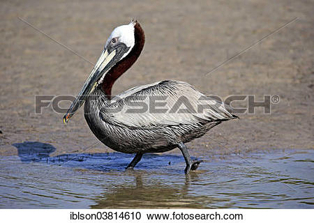 "Stock Photography of ""Brown Pelican (Pelecanus occidentalis."