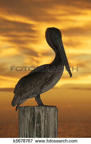 Picture of Brown Pelican, Pelecanus occidentalis k5678767.