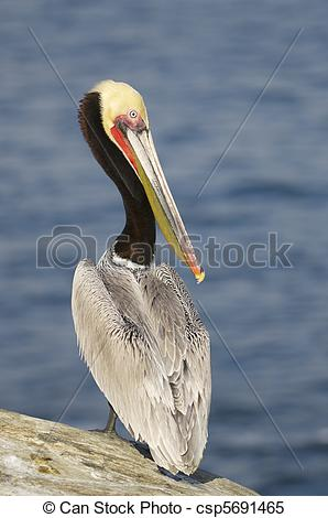 Pelecanus occidentalis clipart #16