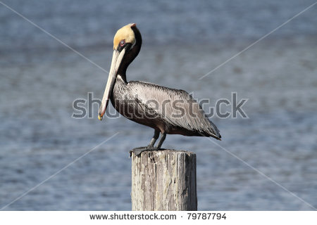Brown Pelican (Pelecanus Occidentalis) Perched On A Pier The.