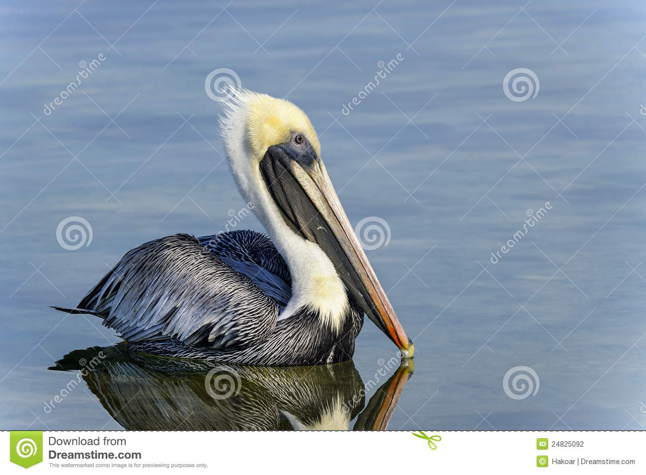 Brown Pelican, Pelecanus Occidentalis Stock Photography.