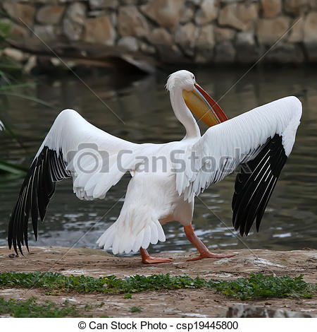 Stock Photography of White pelican (Pelecanus onocrotalus) stands.