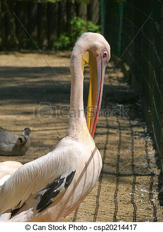Stock Photography of Pelikan, lat Pelecanus onocrotalus.