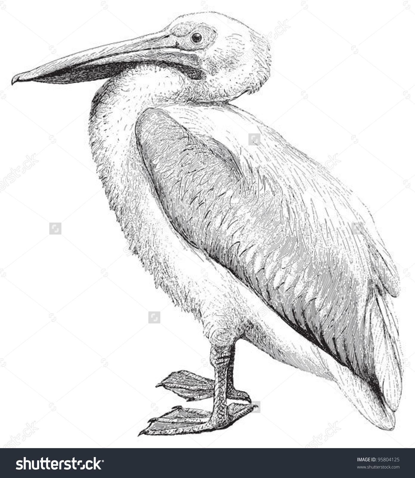 White Pelican Pelecanus Onocrotalus Vintage Illustration Stock.