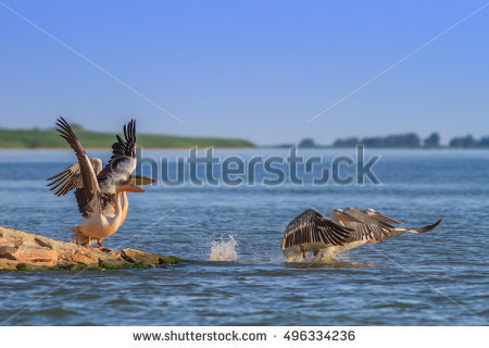 Pelicans In Flight Stock Photos, Royalty.