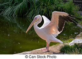 Stock Photography of white pelican (pelecanus onocrotalus).