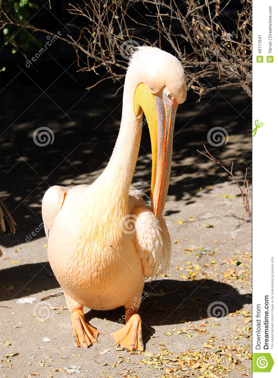 Great Pelican (Pelecanus Onocrotalus) Crying Stock Photo.