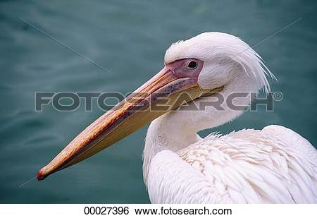 Stock Images of Juniors, Pelecanidae, Pelecanus, Pelecanus.