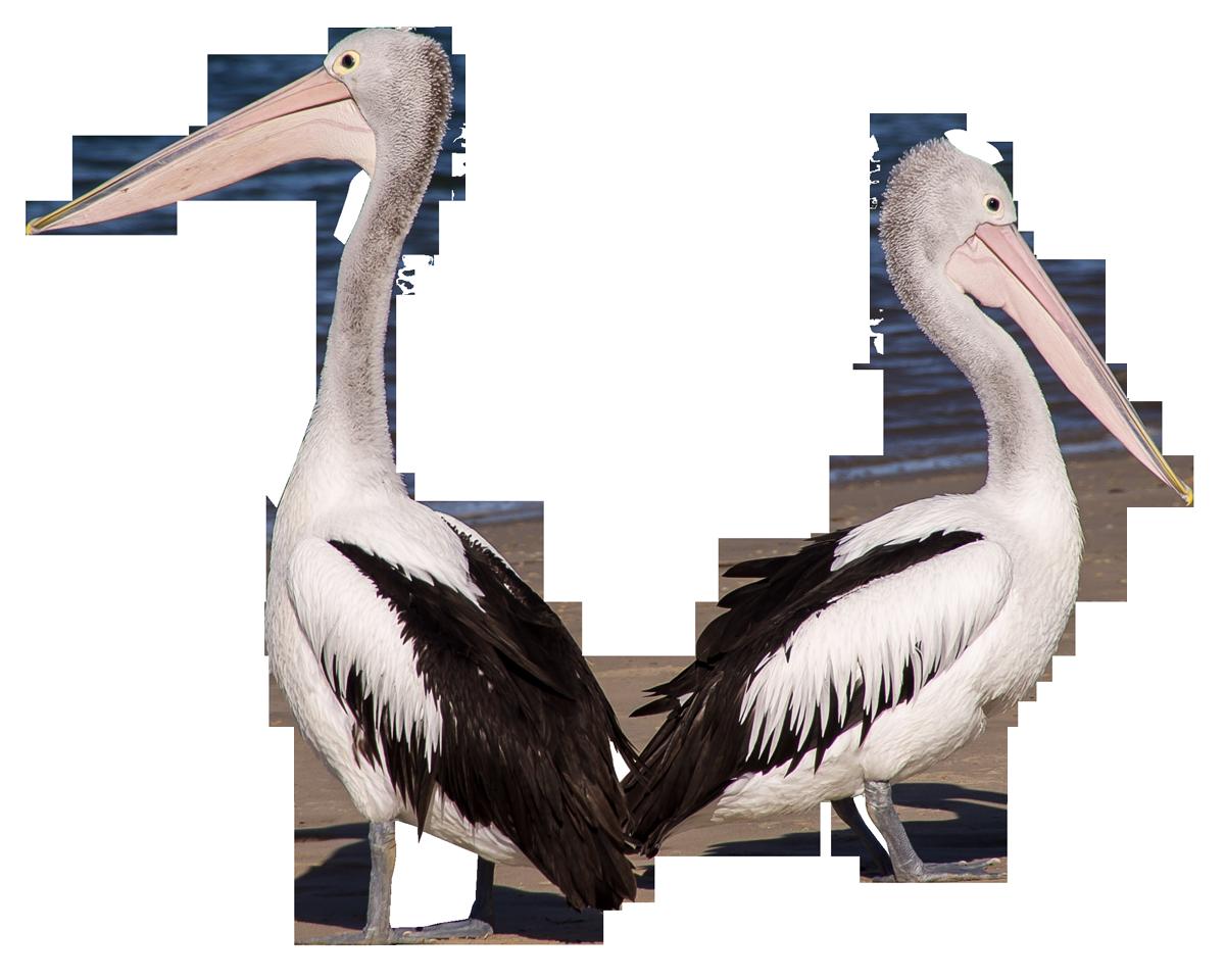 Pelican Birds PNG Image.
