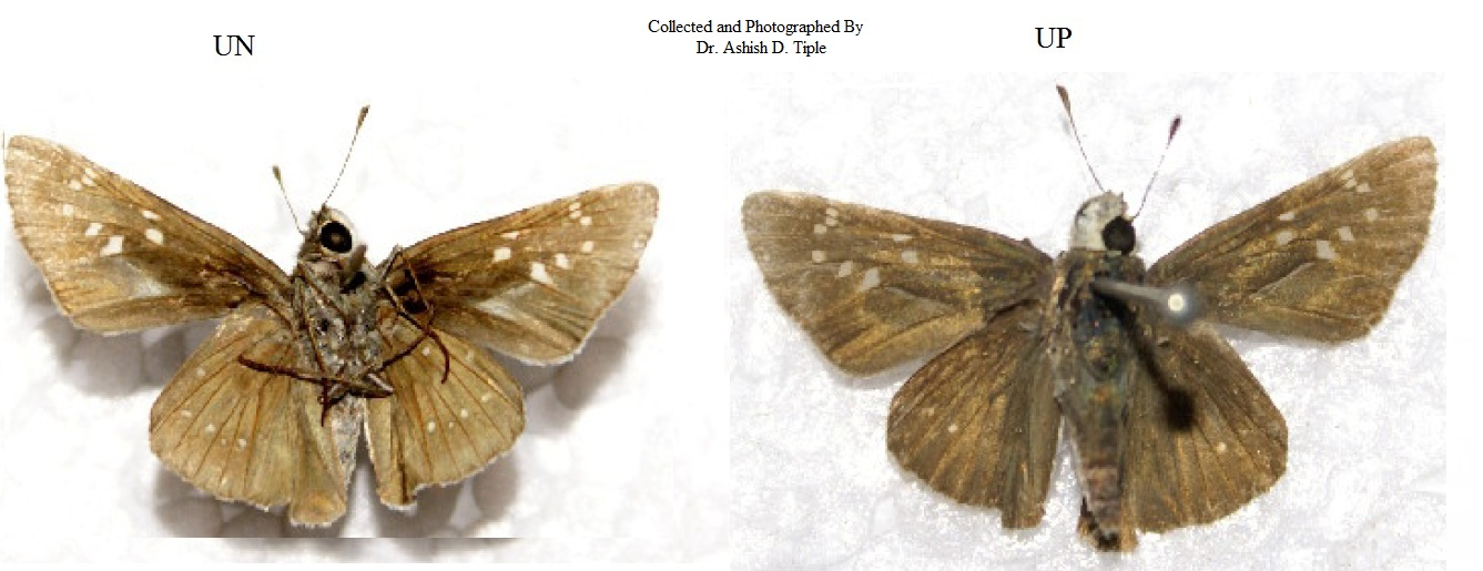 Butterflies<br> Hesperiidae( The Skippers )<br> » Subfamily.