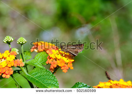 Small Lantana Stock Photos, Royalty.