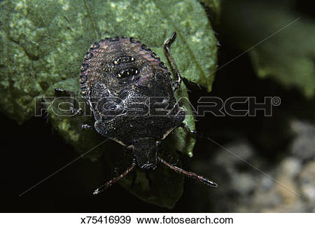 Stock Photograph of Stink Bug, Pentatomidae, Rice County.