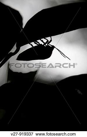 Picture of Silhouette of a tropical shield bug, order Hemiptera.