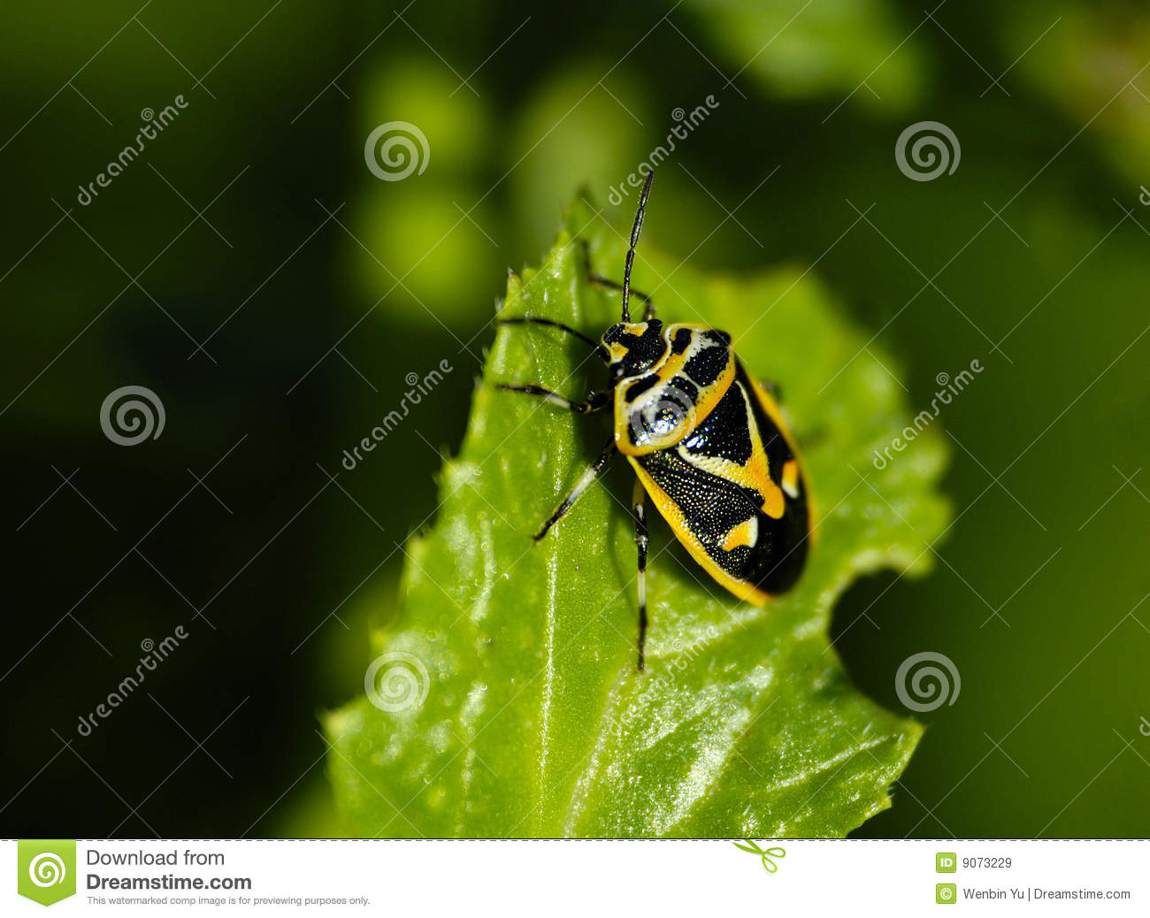 Pentatomidae Stock Photos, Images, & Pictures.