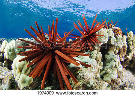 Stock Photograph of USA, Slate Pencil Urchin (Heterocentrotus.