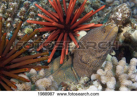 Picture of Hawaii, Whitemouth Moray Eel (Gymnothorax Meleagris.