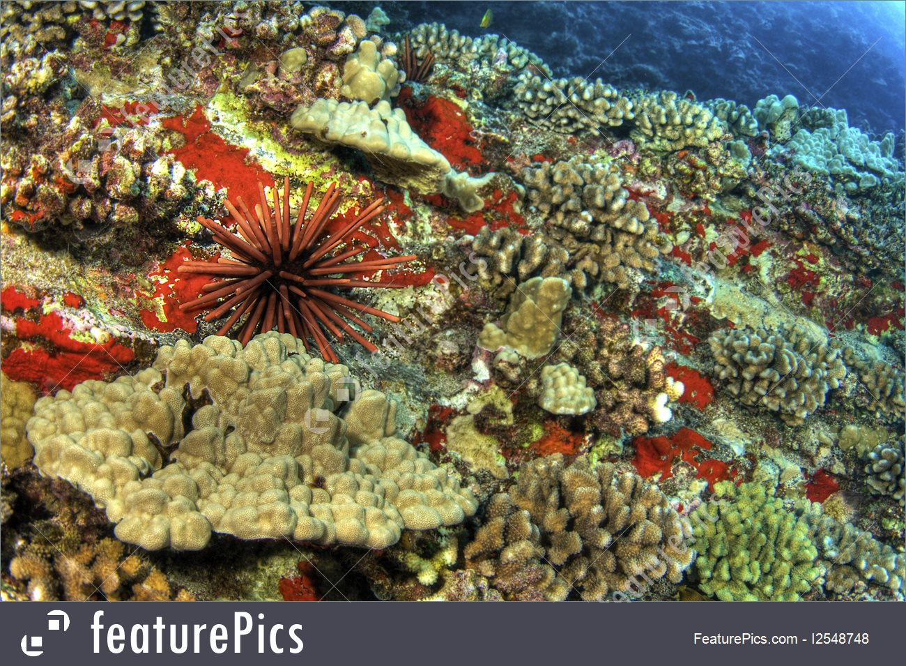 Aquatic Wildlife: Slate Pencil Urchin On Coral Reef.