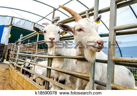 Pictures of Penned Goats at Farm Visitor Centre k18590078.
