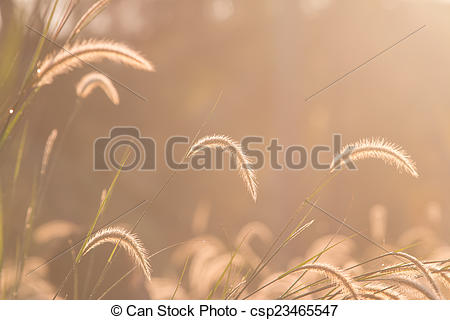 Stock Photo of Dwarf Foxtail Grass or Pennisetum alopecuroides.
