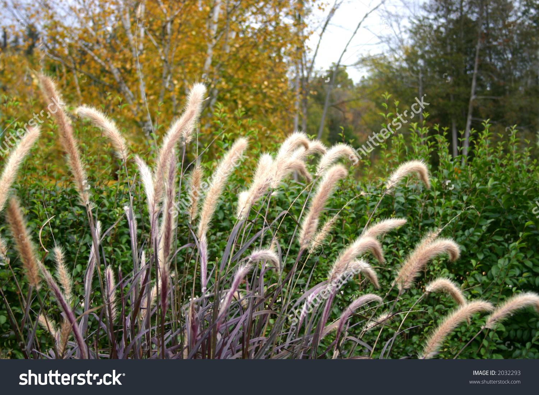 Closeup Dwarf Fountain Grass Growing Wild Stock Photo 2032293.