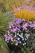 "Stock Photograph of ""Chinese Pennisetum, Dwarf Fountain Grass."