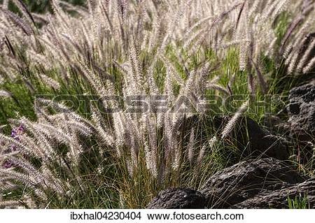 Stock Photo of Fountain grass (Pennisetum alopecuroides) flowers.