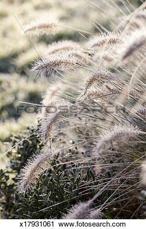 Stock Photography of Grass Pennisetum alopecuroides Hameln in.