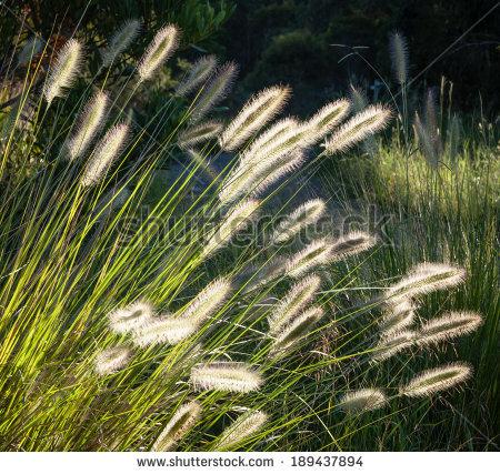 Beautiful Flower Spikes Of Australian Native Dwarf Foxtail Grass.