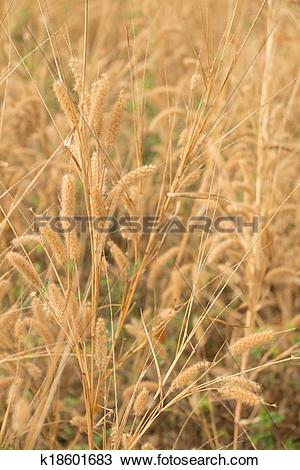 Stock Photo of feather pennisetum,mission grass k18601683.