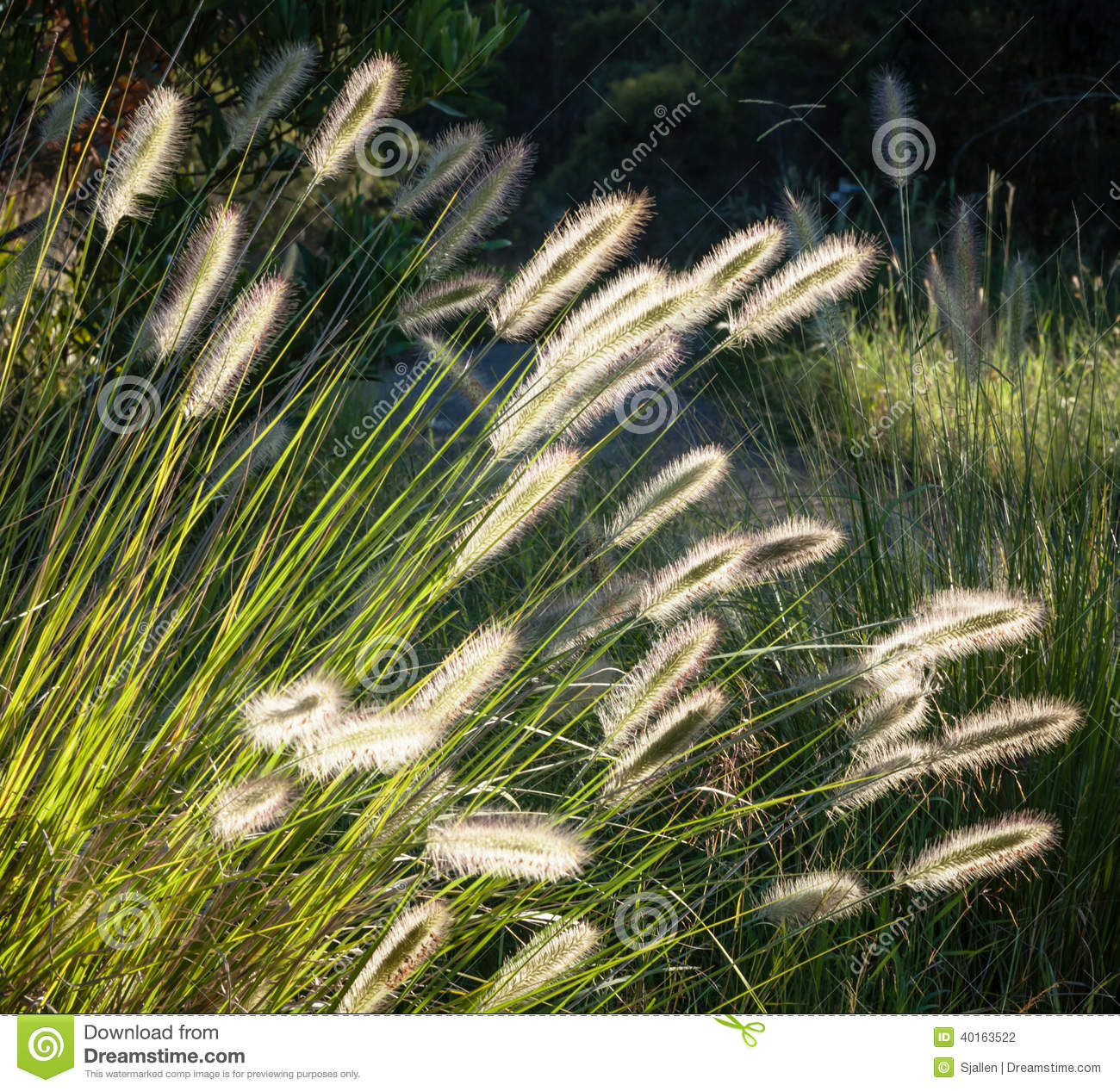 Pennisetum Stock Photos, Images, & Pictures.