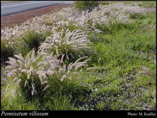Pennisetum villosum (Feathertop) (Cenchrus longisetus).
