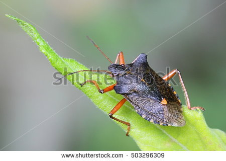 Shieldbug Stock Photos, Royalty.