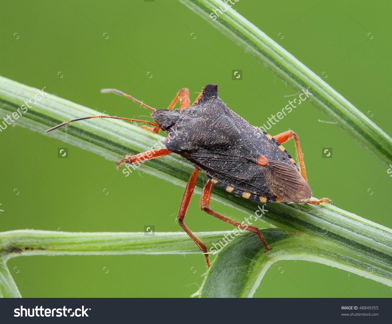 Bedbug Sits On A Grass. Insecta/ Hemiptera/ Pentatomidae.