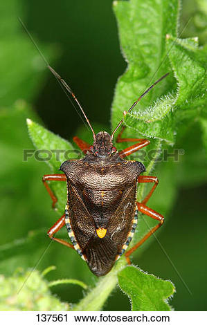 Stock Photography of forest bug / Pentatoma rufipes 137561.