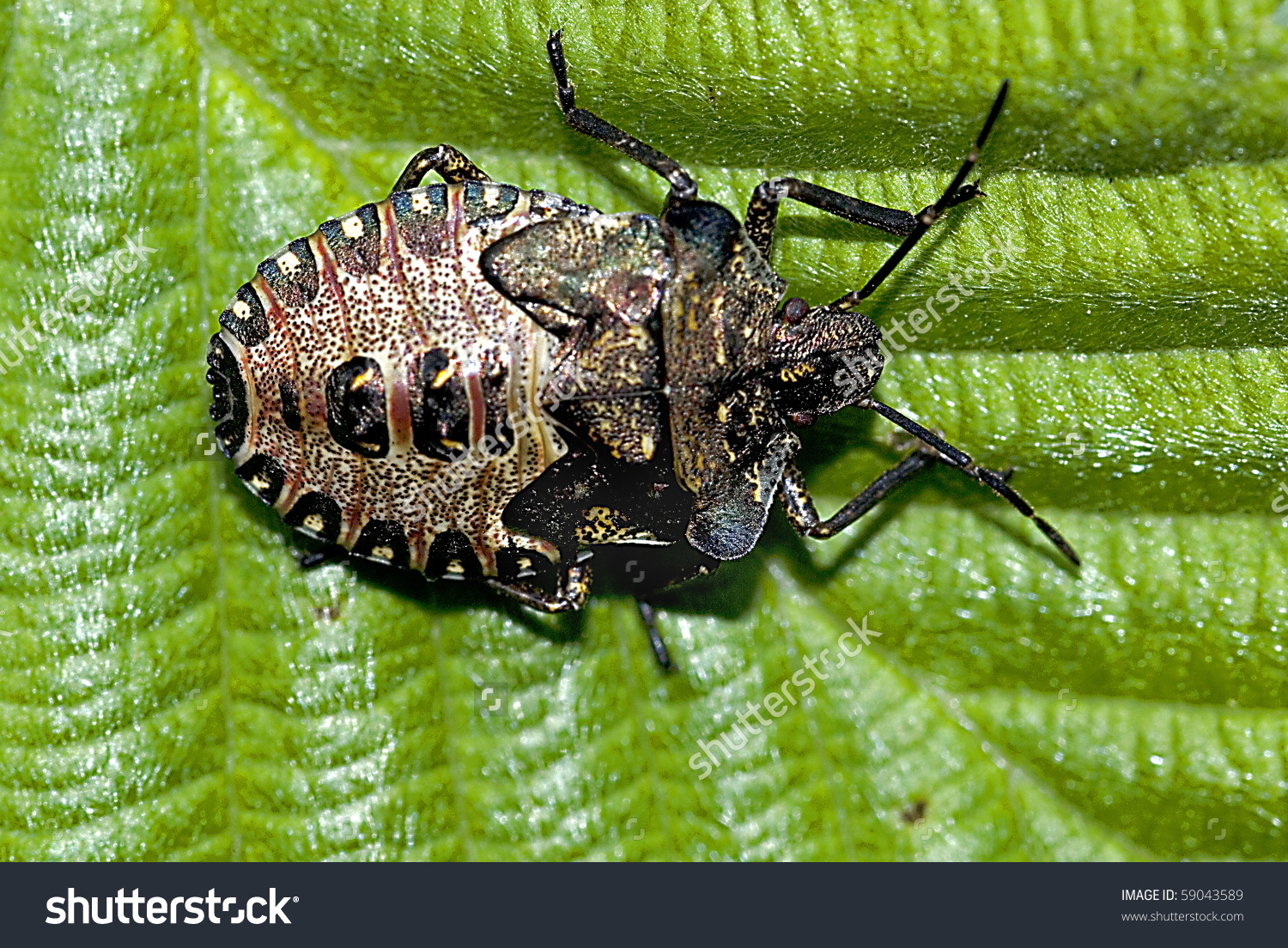 Nymph Of The Forest Bug (Pentatoma Rufipes) Stock Photo 59043589.