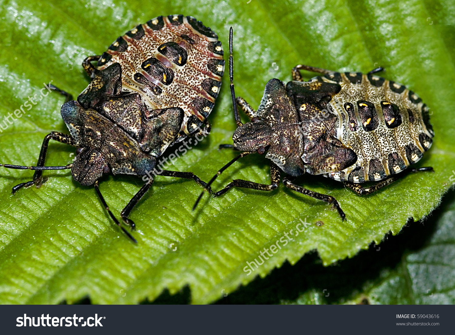 Two Nymphs Of The Forest Bug (Pentatoma Rufipes) On A Beech Leaf.