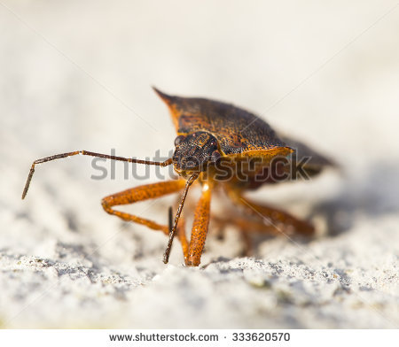 Rufipes Stock Photos, Images, & Pictures.