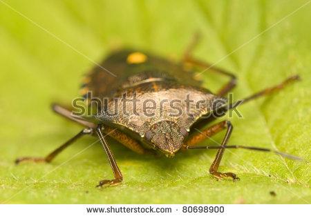 Stink Bugs Stock Photos, Royalty.