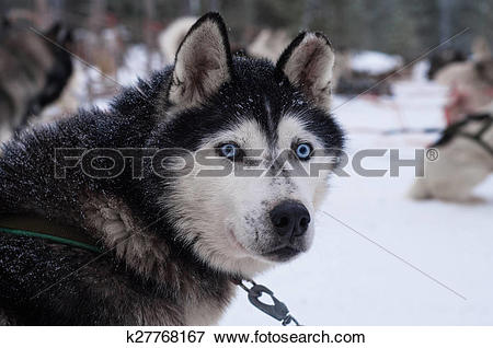 Picture of Husky with penetrating eyes k27768167.