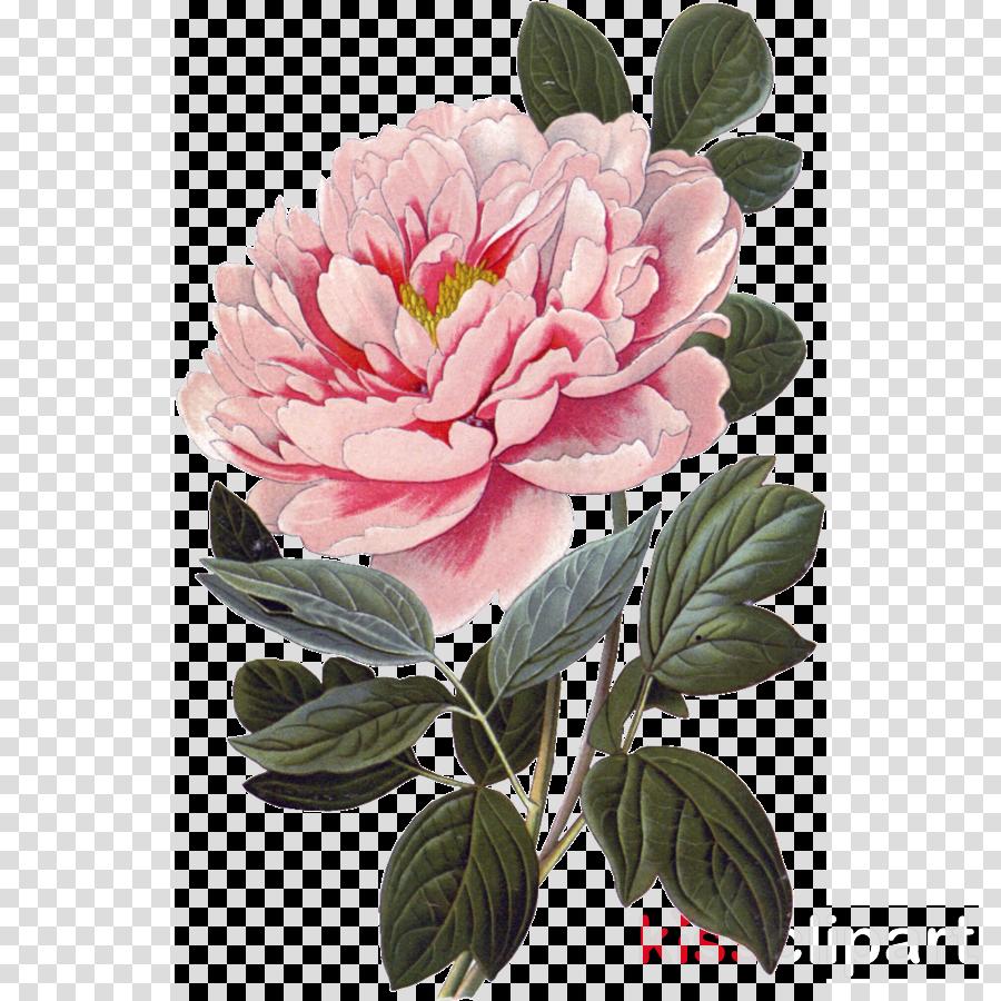 flower plant common peony pink peony clipart.