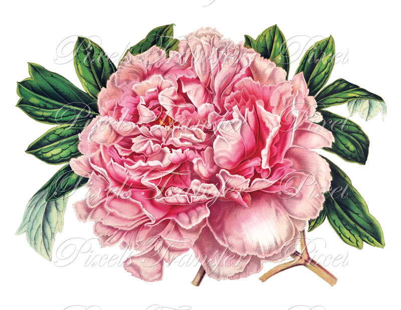 Free Peony Cliparts, Download Free Clip Art, Free Clip Art.