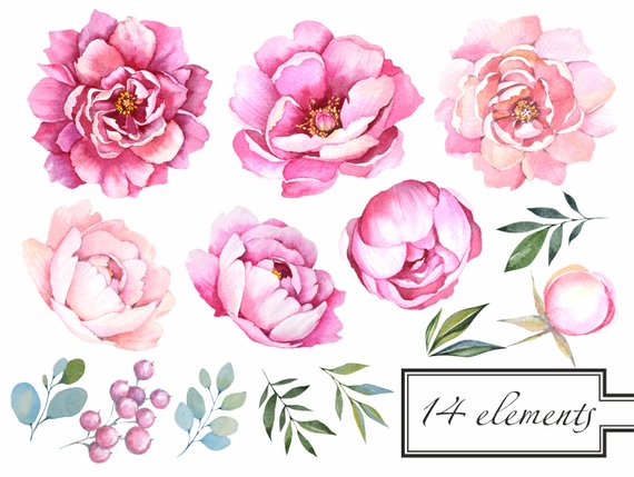 Peonies Clipart.Pink Peony clipart.Watercolor Flowers.
