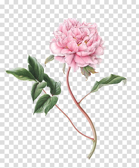 pink peony flower transparent background PNG clipart.