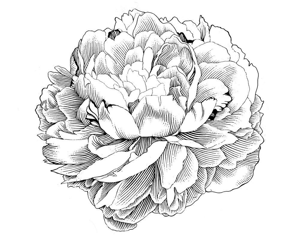 Free peony clip art to use on invitations, stationery, etc.