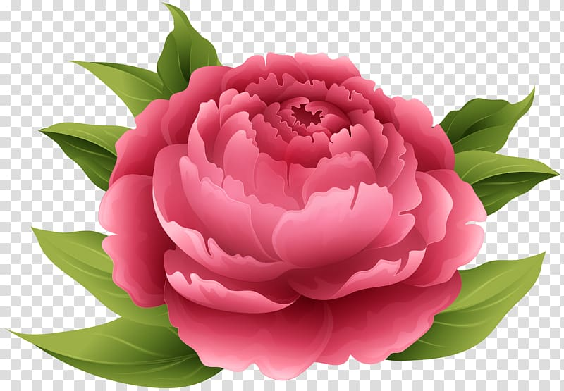 Peony Flower , peony transparent background PNG clipart.