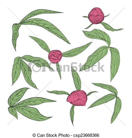 Clip Art Vector of set of beautiful peony leaves and buds isolated.