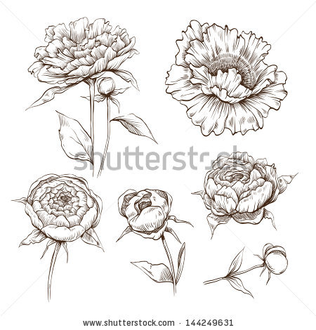 Peony Vector Stock Images, Royalty.